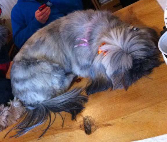 White Fur With Tan Spots Blue Eyes Dog